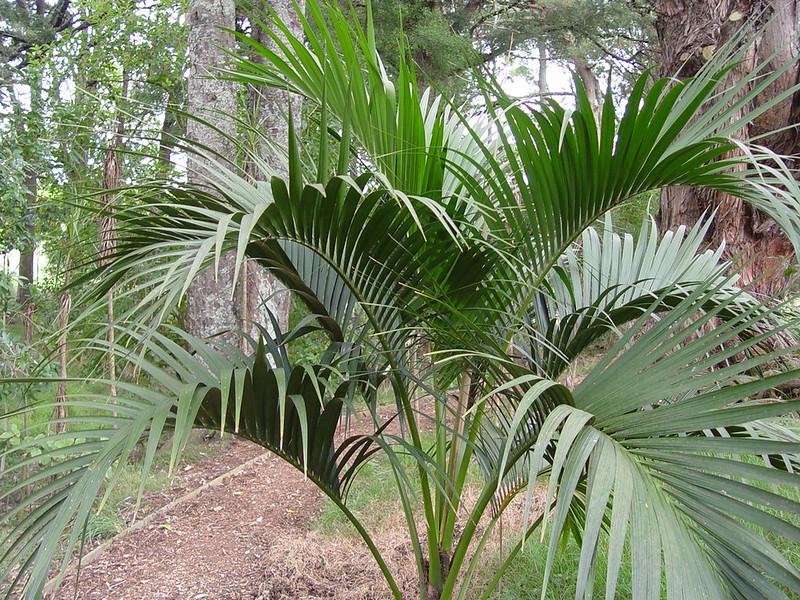 kentia palmiyesi