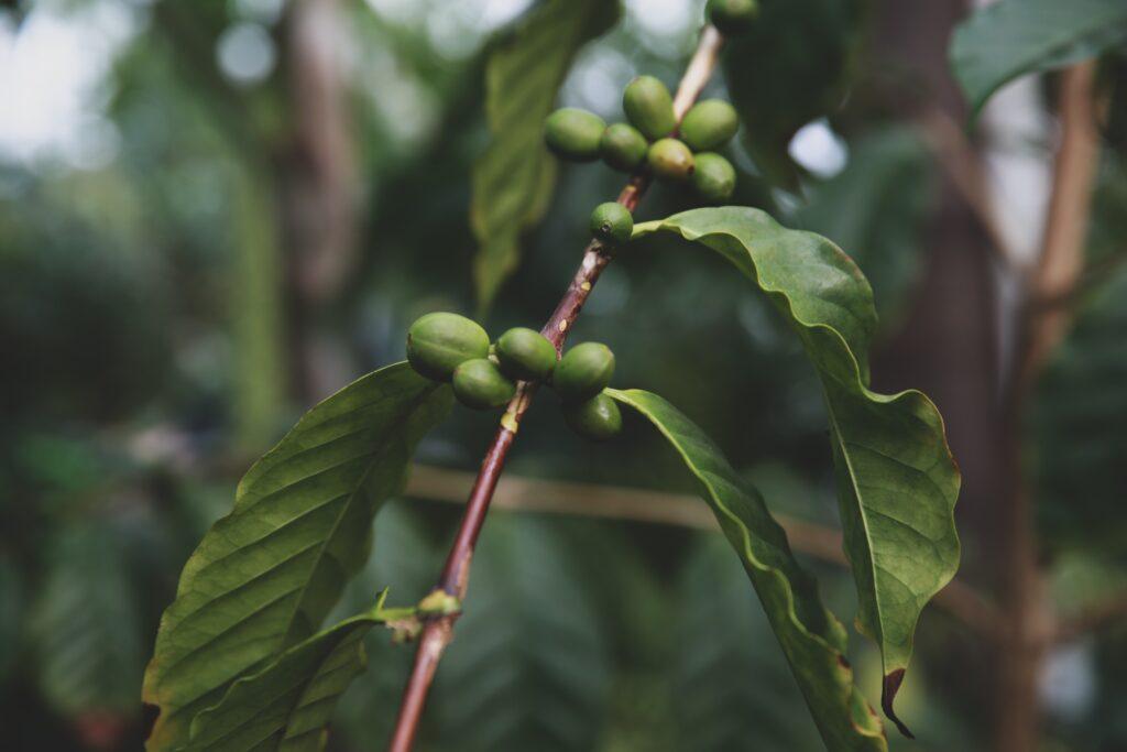 kahve bitkisi