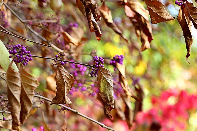 sonbahar çiçekleri, callicarpa
