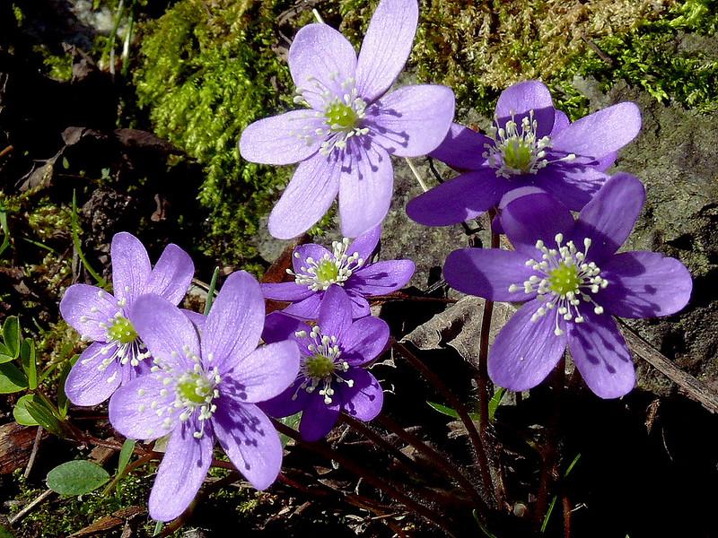 anemon çiçeği, mor çiçek, sonbahar çiçekleri, sonbaharda açan çiçekler