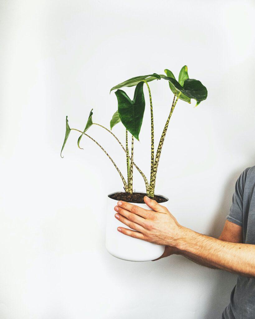 alocasia bitki