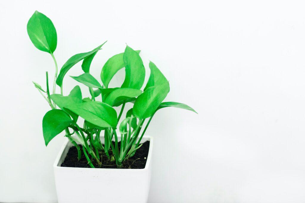 Banyoda Yetişen Bitkiler, pothos