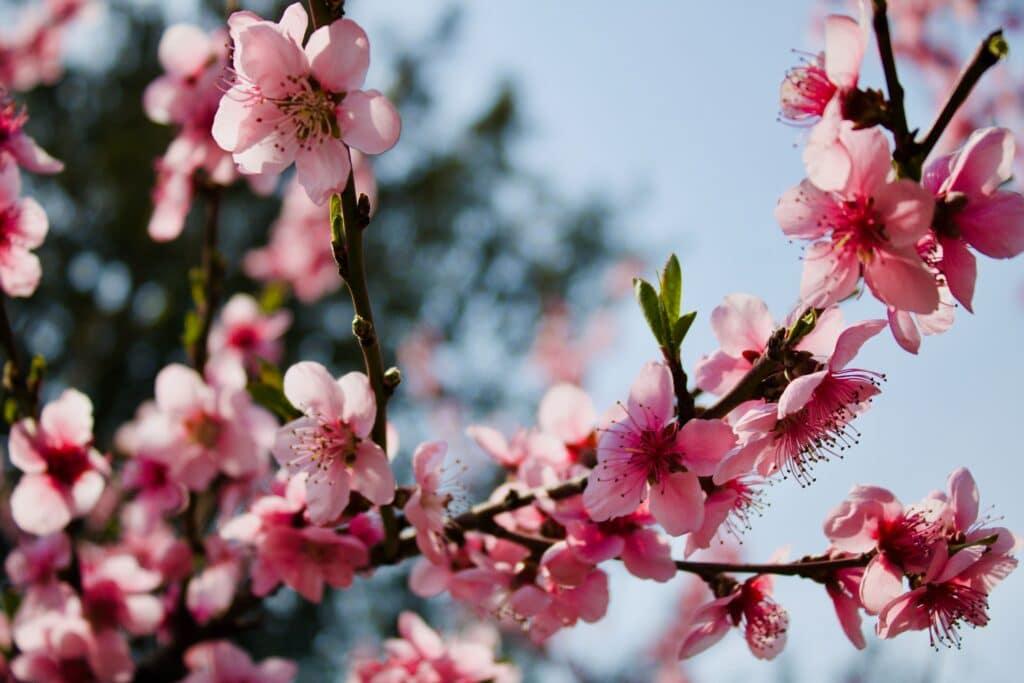Kiraz Çiçeği, sakura çiçeği, Kiraz çiçeğinin anlamı