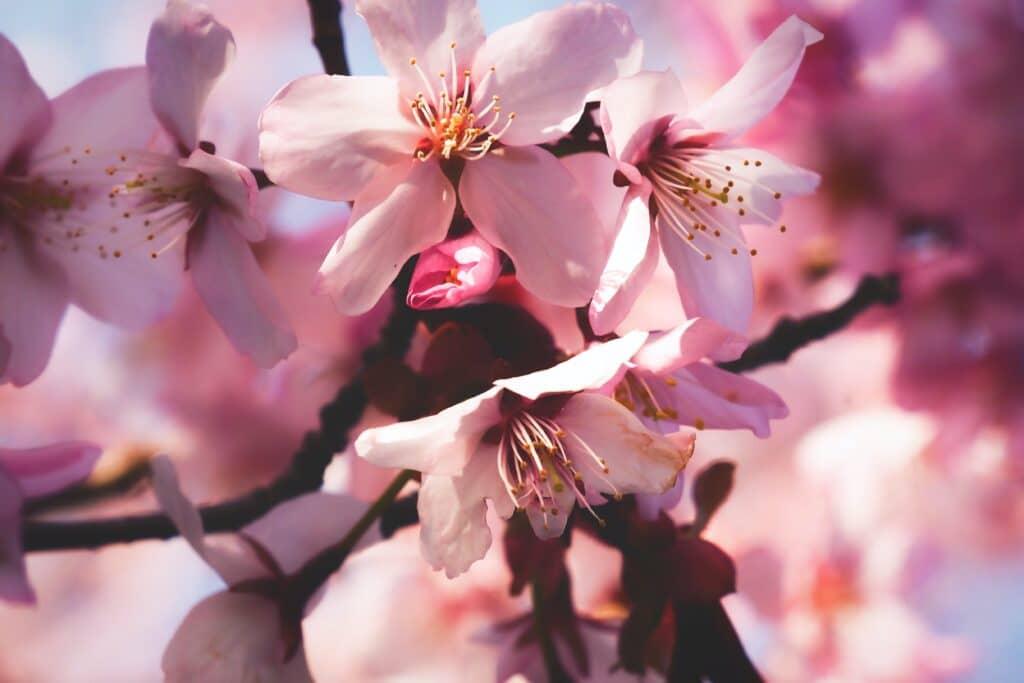 Kiraz Çiçeği, hanami, sakura ağacı çiçeği, Kiraz çiçeğinin anlamı