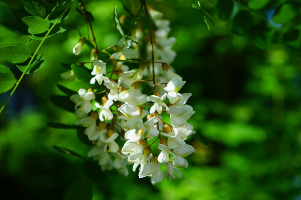 Acacia flower, akasya