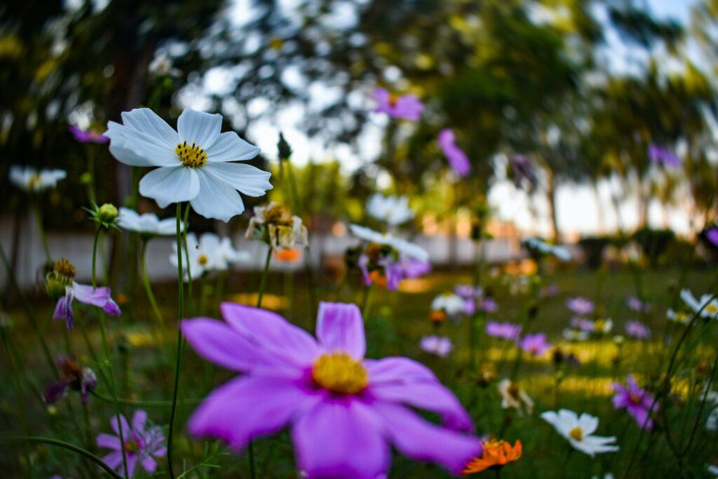 anemon, çiçek türleri
