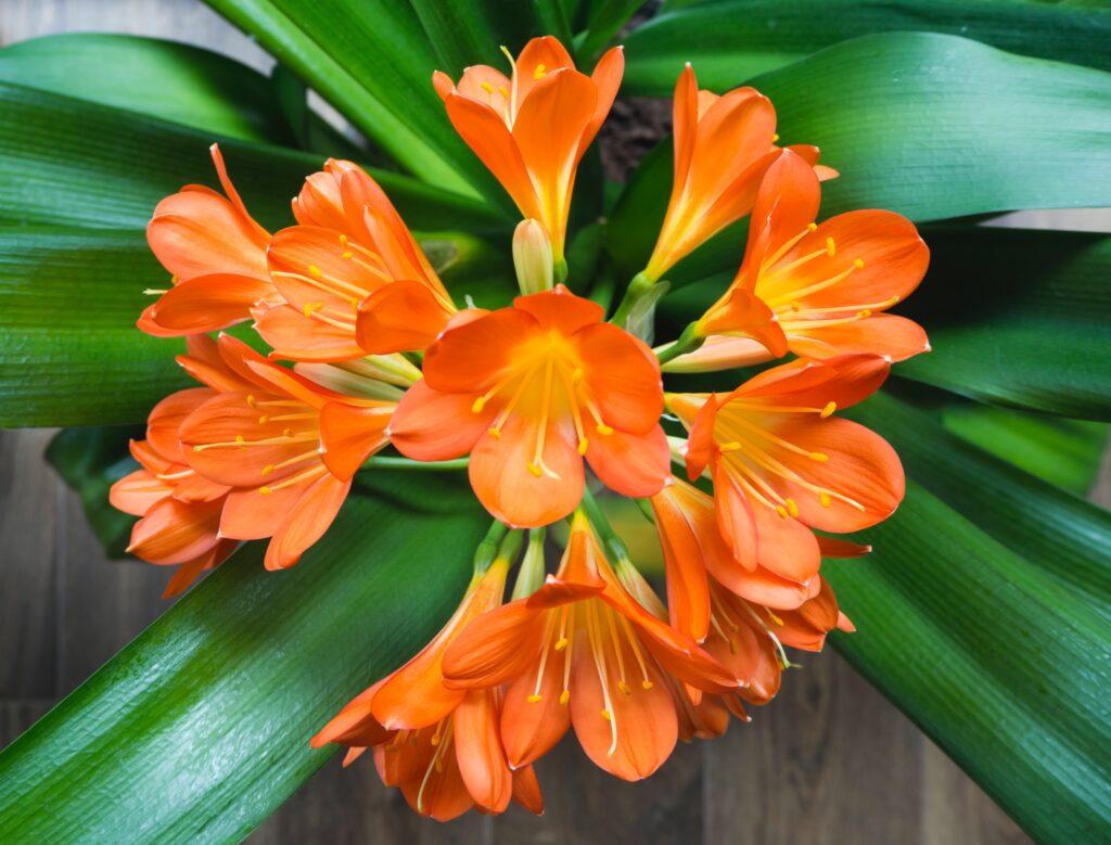aslan burcu çiçeği, turuncu çiçek, klivya çiçeği, Aylara Göre Çiçekler