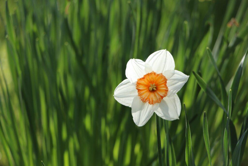 nergis, çiçek türleri