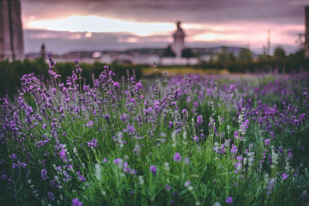 Lavender, lavanta bahçesi, çiçek türleri