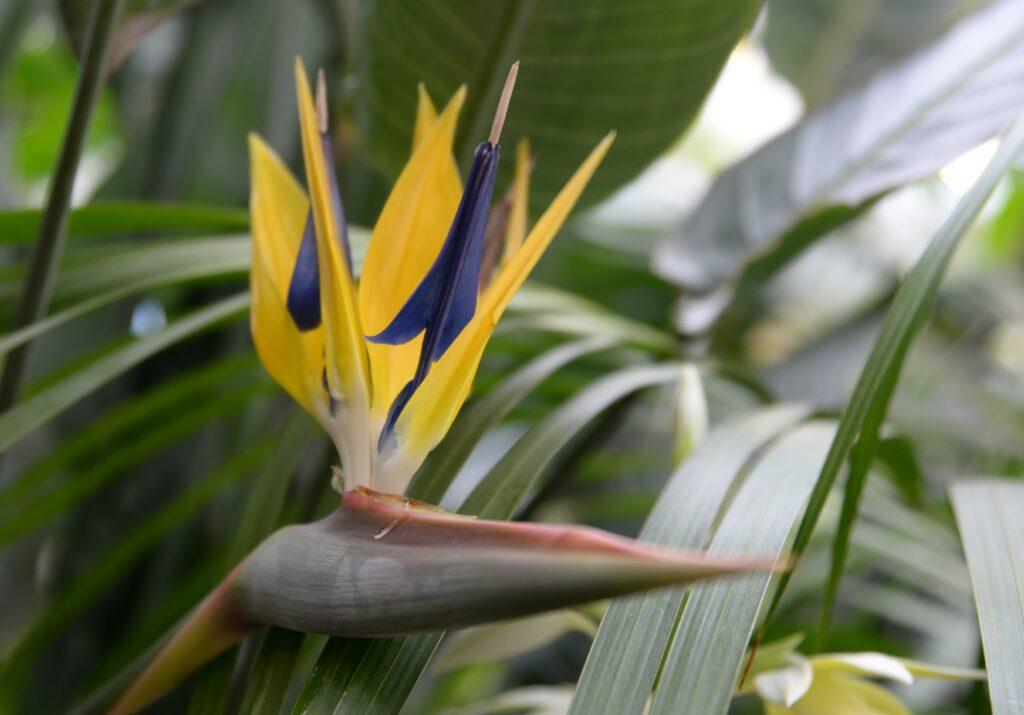 cennet kuşu çiçeği, kov burcu çiçeği