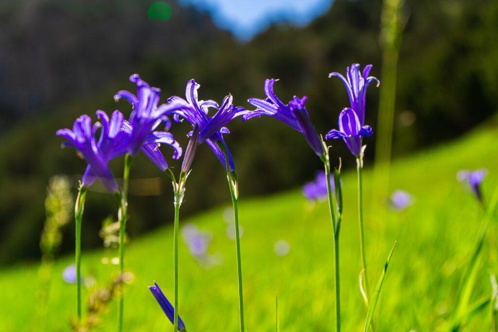 iris, süsen çiçeği