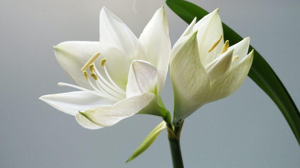 zambak, çiçek çeşitleri