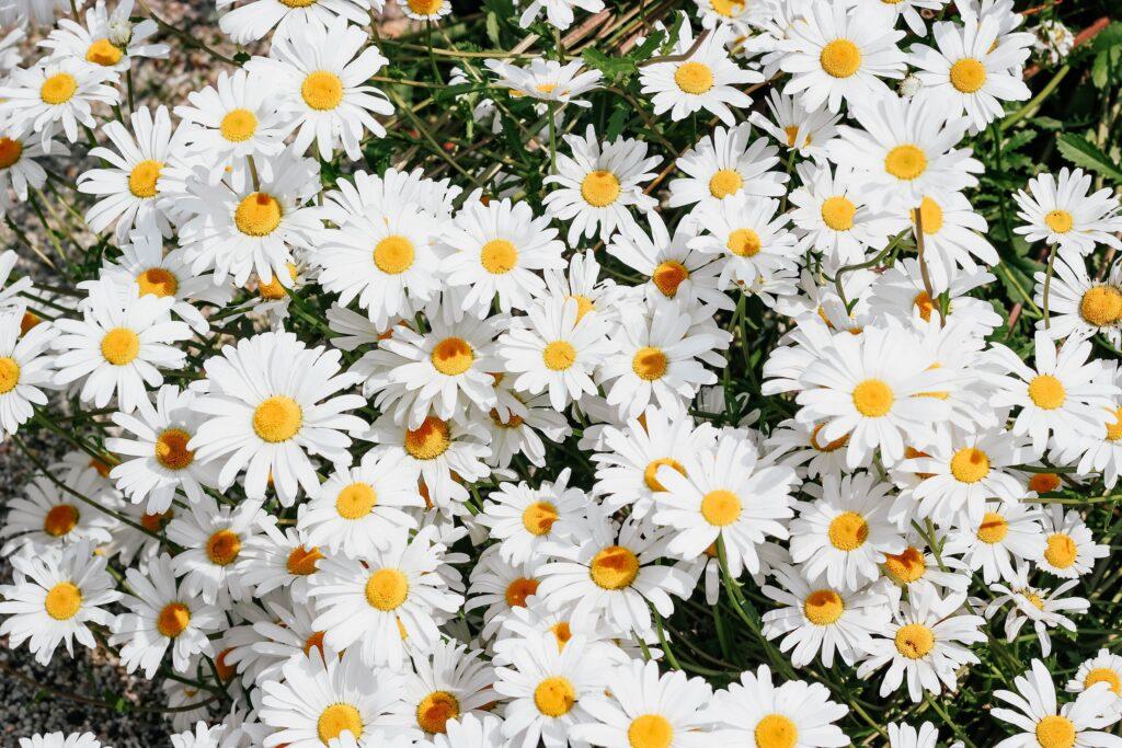 daisy, papatya, Hangi çiçek ne anlama gelir