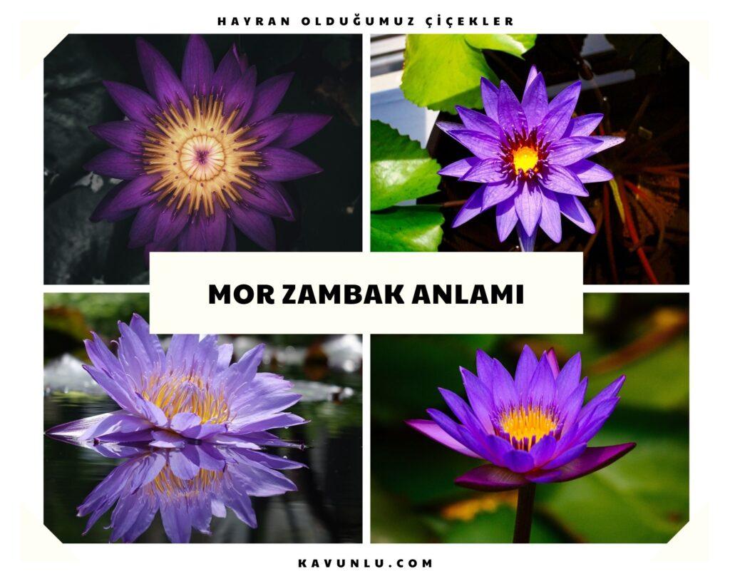 lilyum anlamı nedir, mor zambak çiçeği