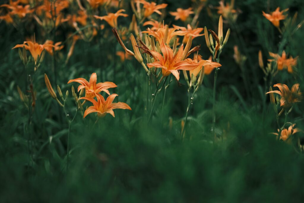turuncu zambak anlamı, lilyum çiçeği anlamı