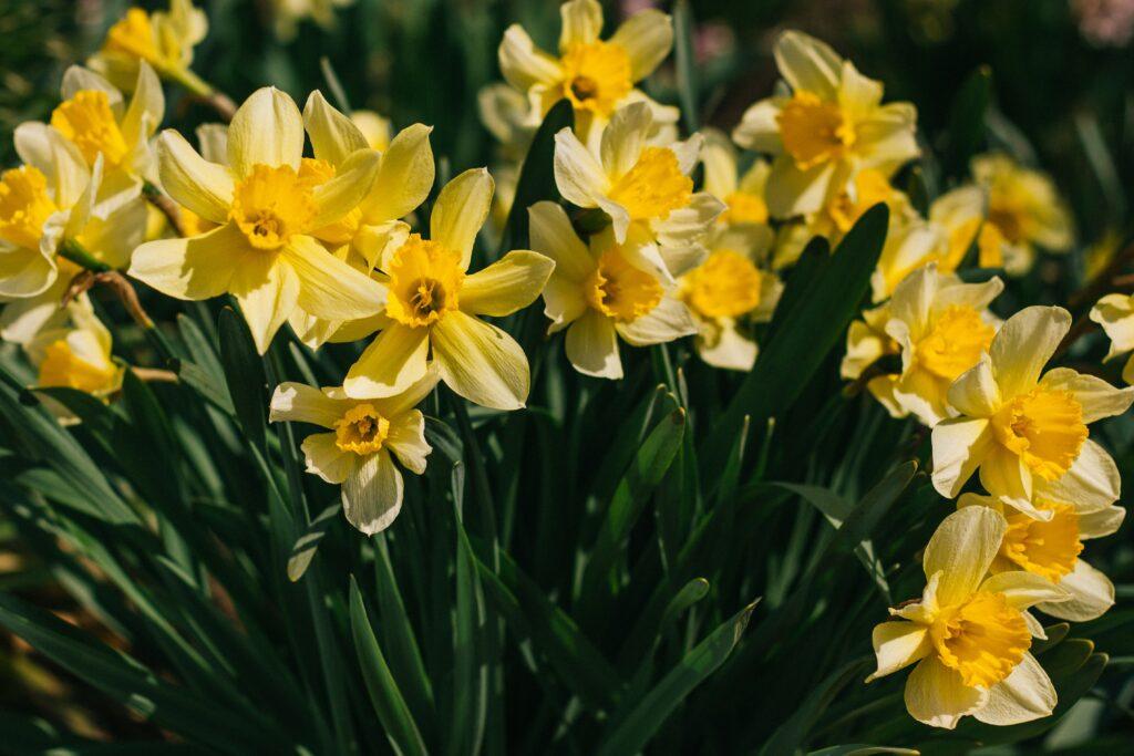 sarı nergis, bahar çiçekleri