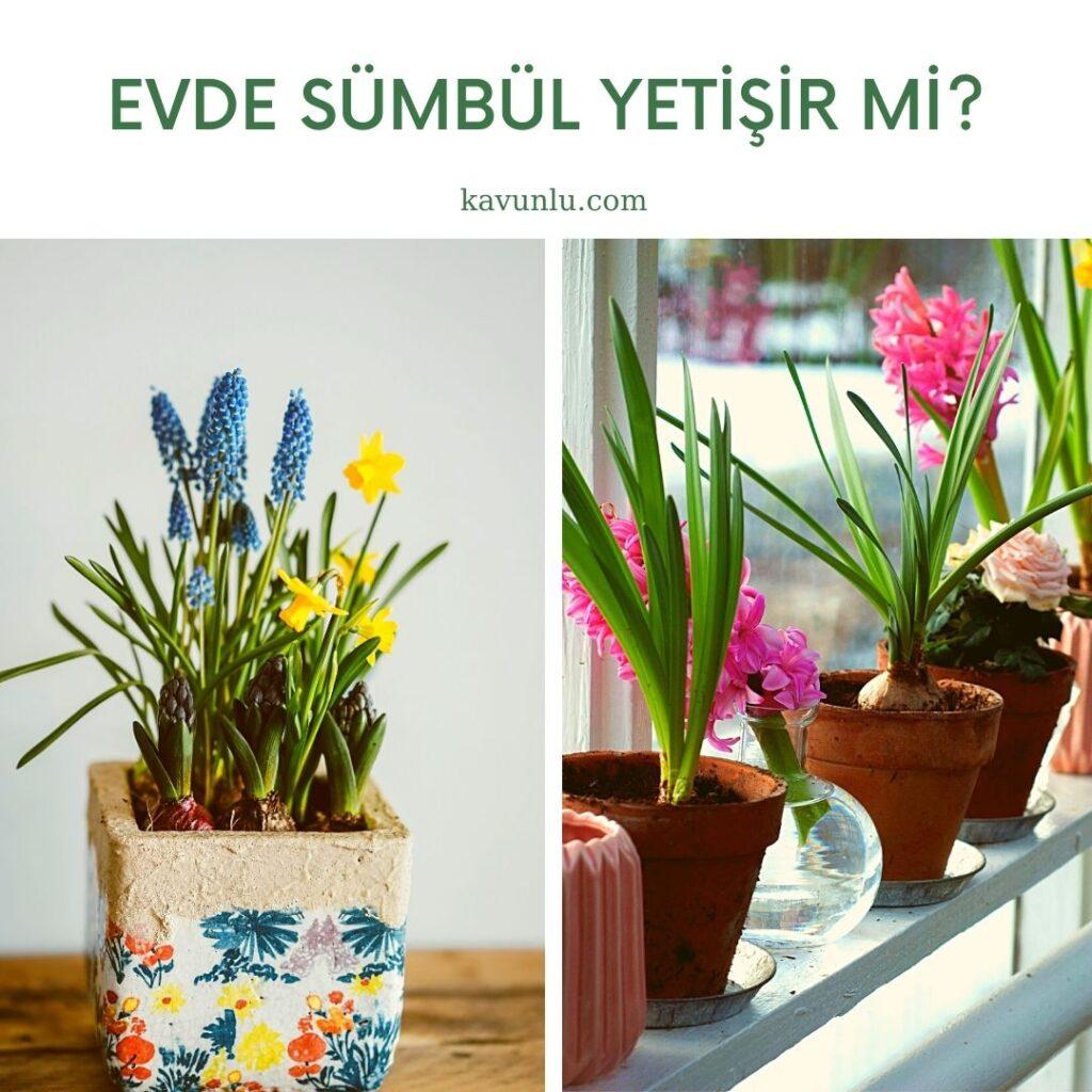 Sümbül bakımı nasıl olur? Sümbül çiçeği evde yetişir mi?, saksıda sümbül yetiştirme