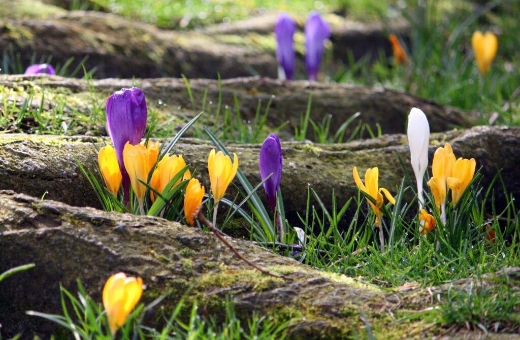 ilkbahar çiçekleri, çiğdem çiçeği, sarı çiğdem, mor çiğdem, beyaz çiğdem