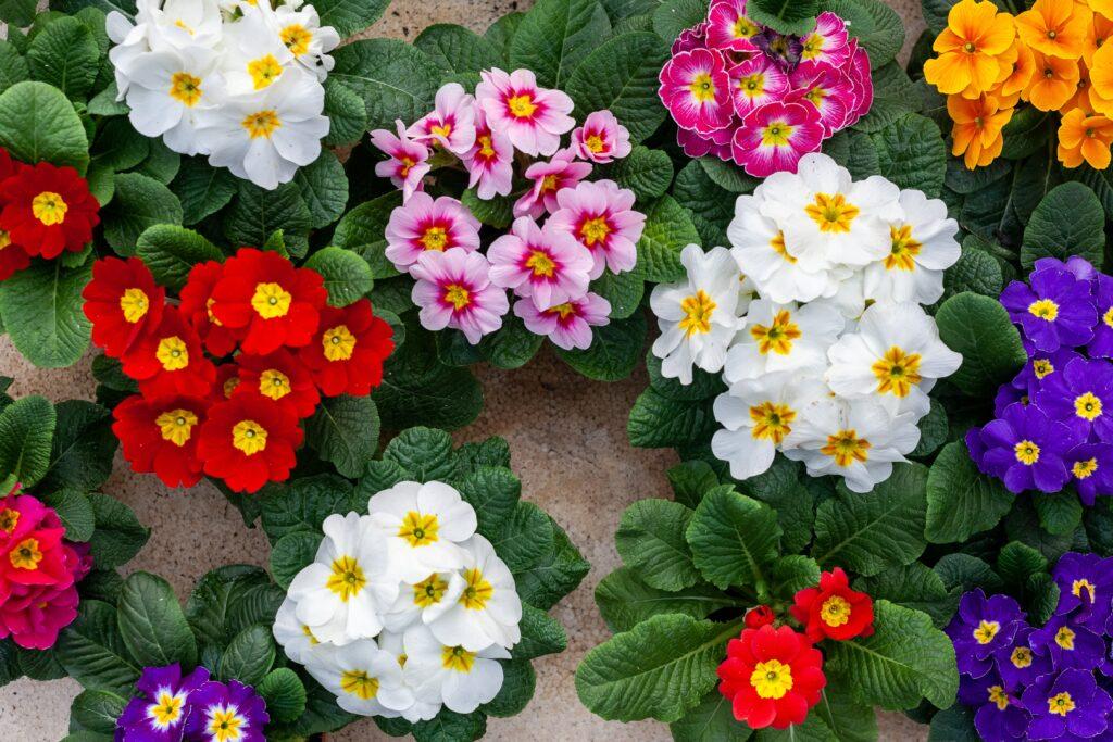 çuha çiçeği, bahar çiçeği