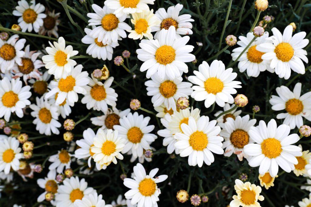 ilkbahar çiçekleri, papatya, beyaz papatya, bahar çiçekleri neler