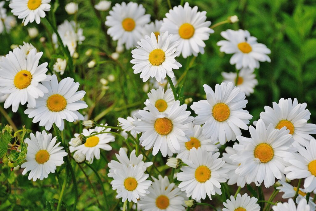 çim, beyaz papatyalar, papatya çiçeği anlamı