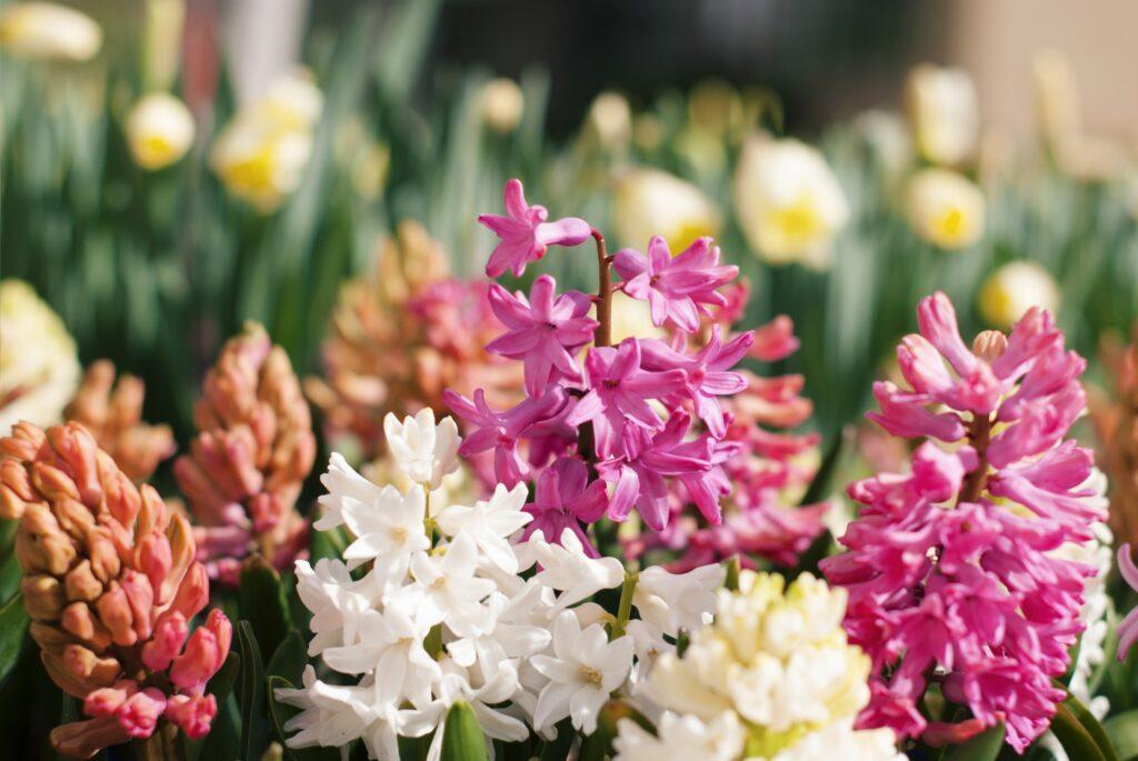 sümbül, bahar çiçekleri