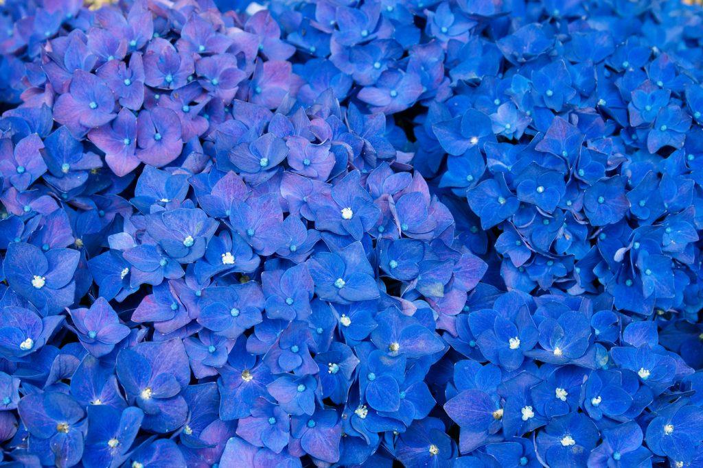 mavi çiçek, Bilinmeyen çiçekler ve anlamları, lobelya