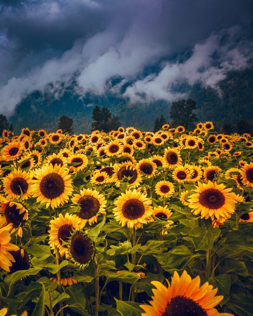 ayçiçek, bulutlu dağ fotoğrafı, çiçek fotoğrafı, Çiçekler hakkında bilgiler
