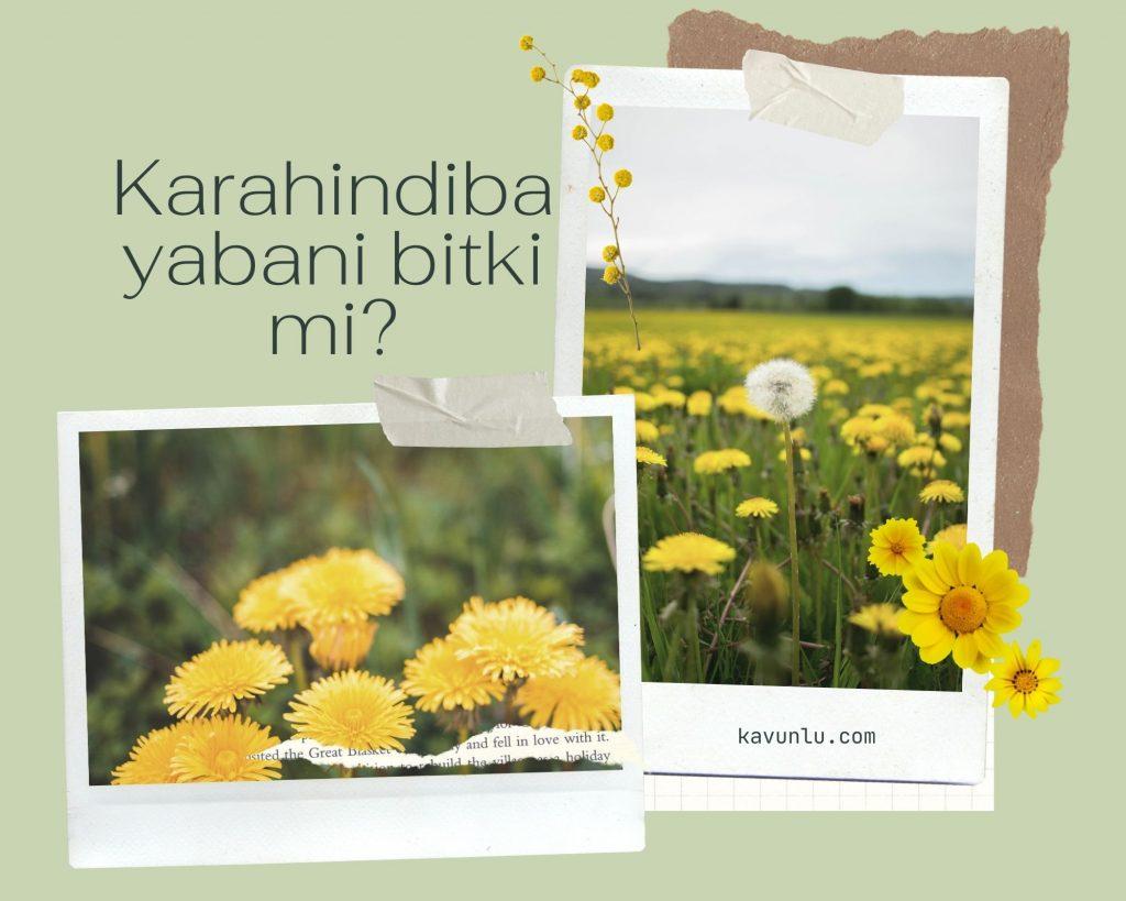 karahindiba yabani mi?, Çiçekler hakkında bilgiler
