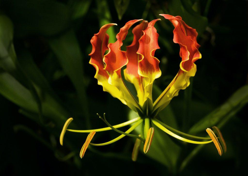 ateş lalesi, sarı kırmızı çiçek