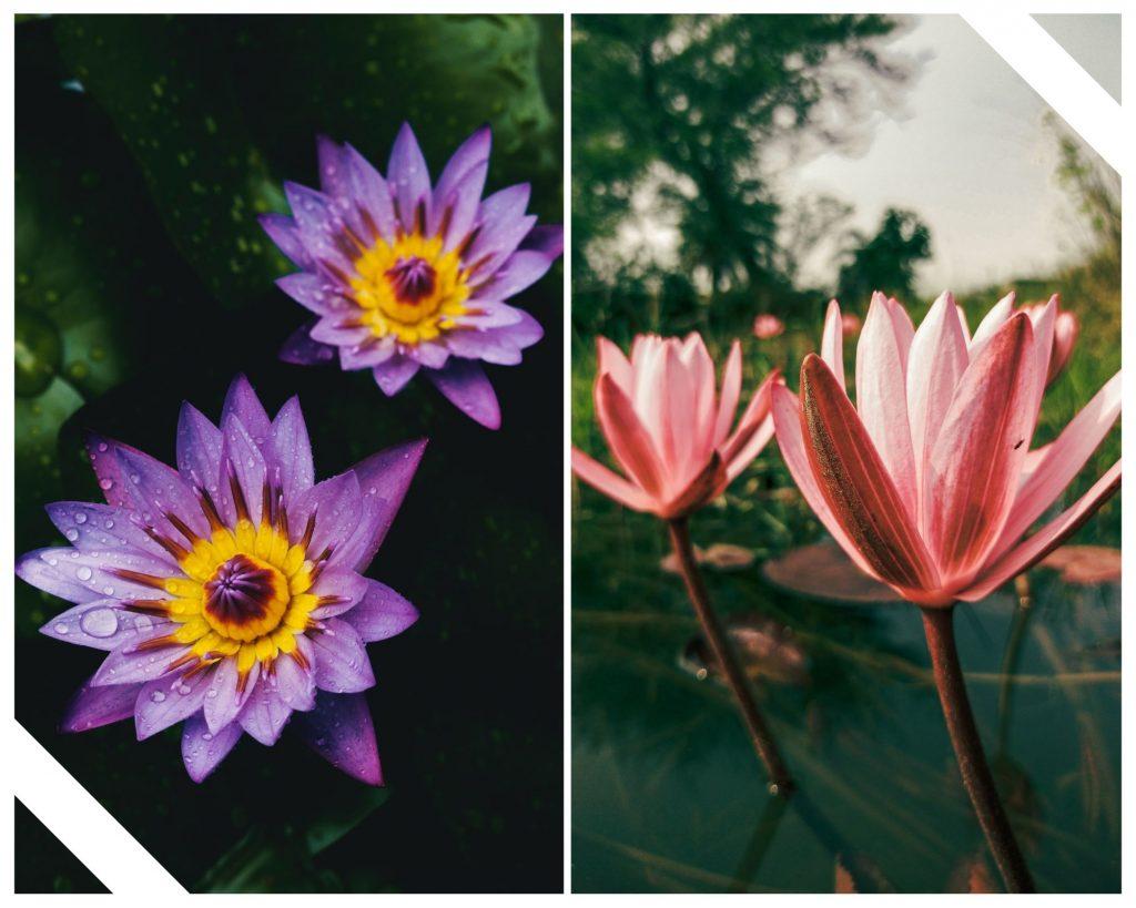 mor lotus çiçeği, pembe lotus çiçeği, lotus çiçeği anlamı