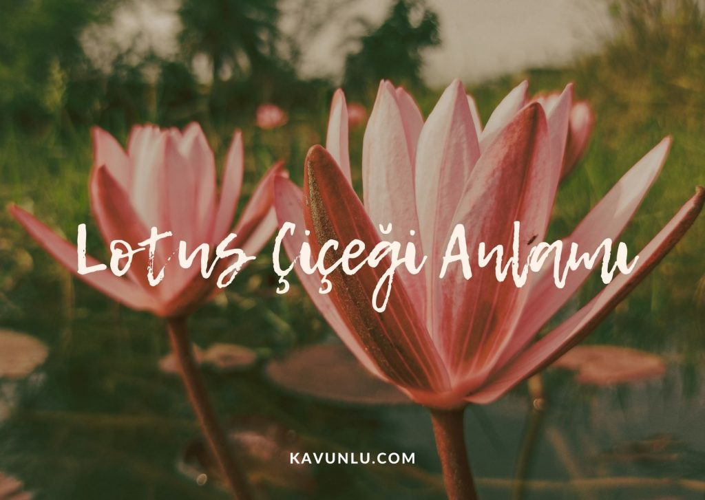 pembe lotus çiçeği, lotus çiçeği anlamı