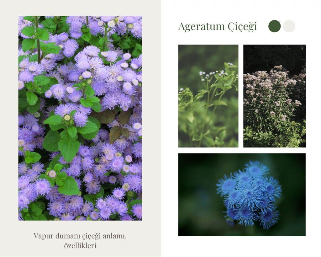 mavi ageratum, vapur dumanı çiçeği
