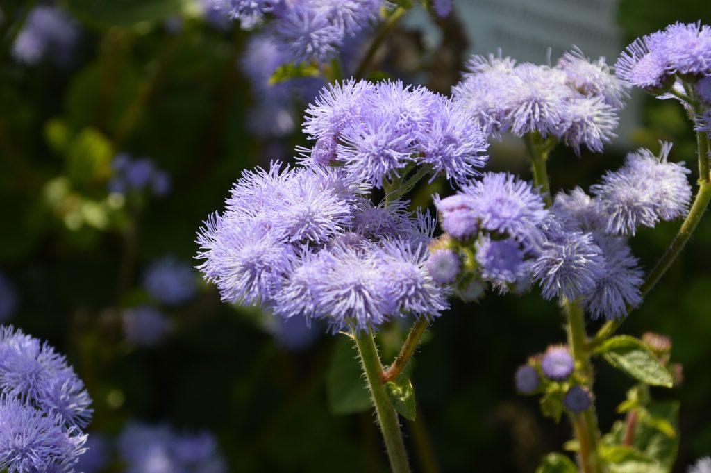 Vapur dumanı çiçeği anlamı, özellikleri, mor ageratum çiçeği