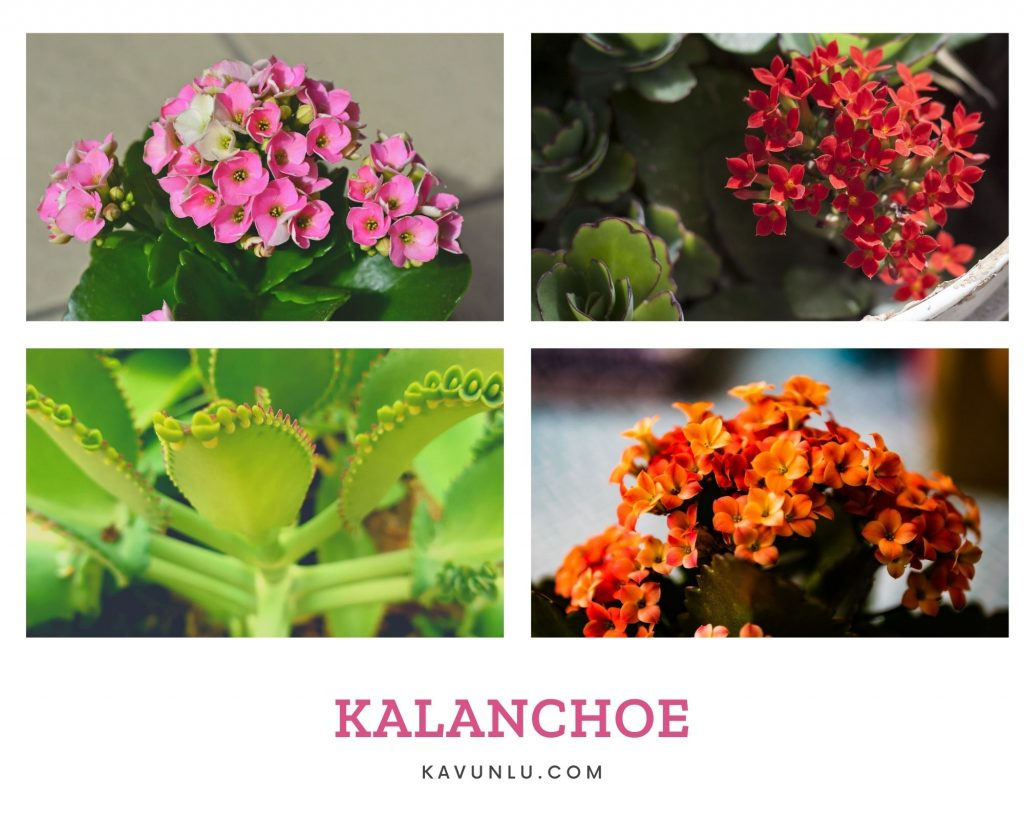 kalanchoe çiçeği anlamı, kalonşo çiçeği
