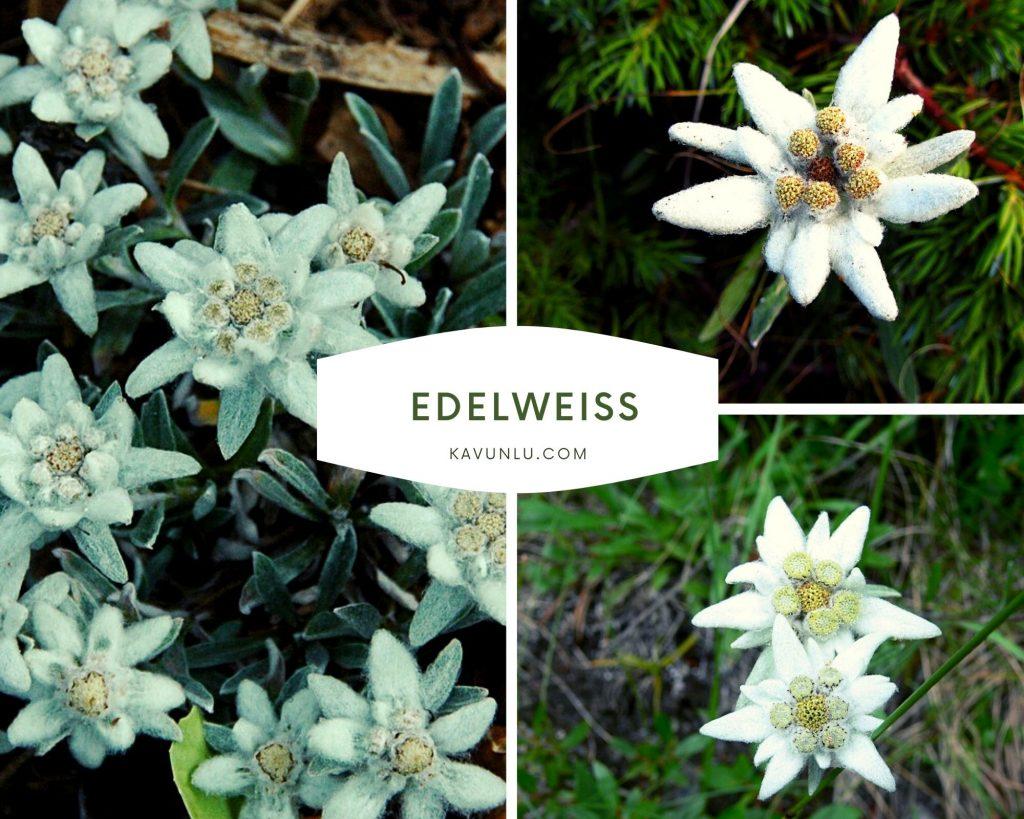 Edelweiss çiçeği anlamı nedir? Edelweiss nedir