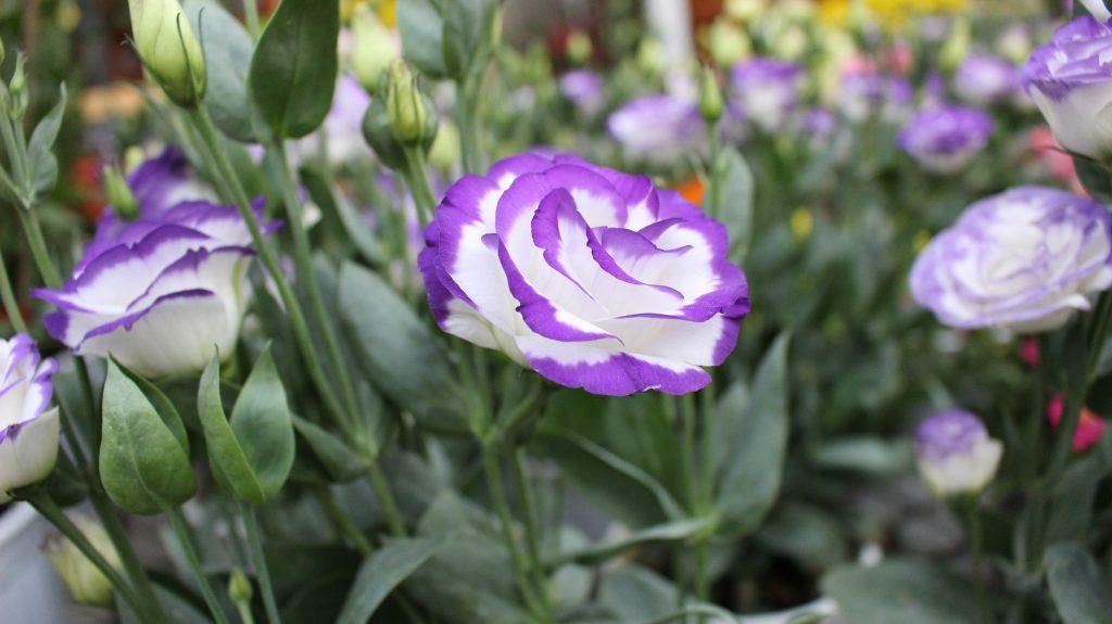 Lisyantus çiçeği anlamı, mor Lisyantus çiçeği