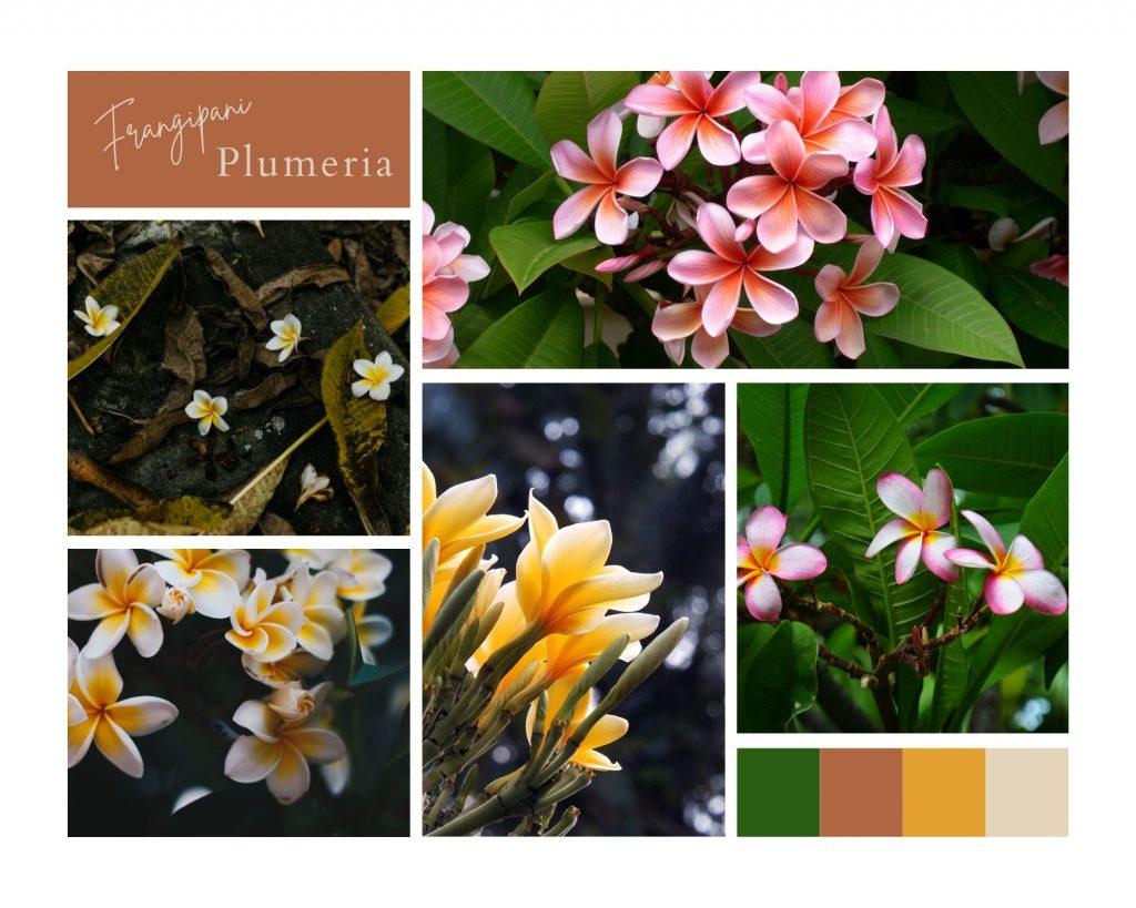 Plumeria çiçeği anlamı —  Frangipani çiçeği
