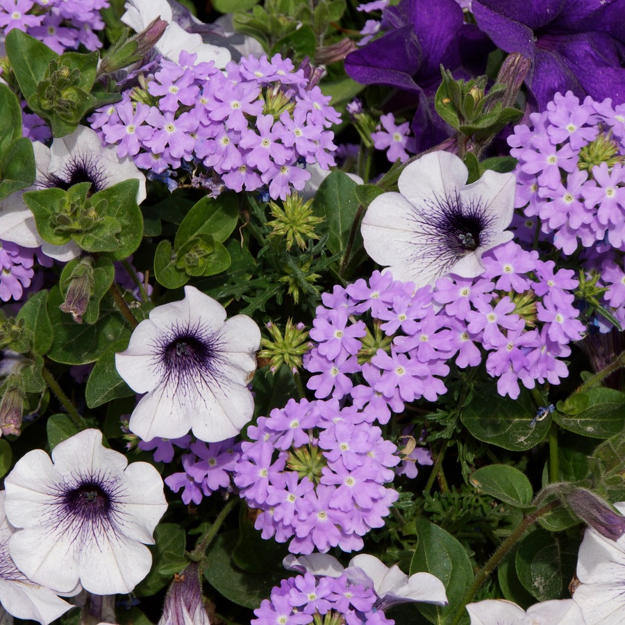 Mor Petunya çiçeği