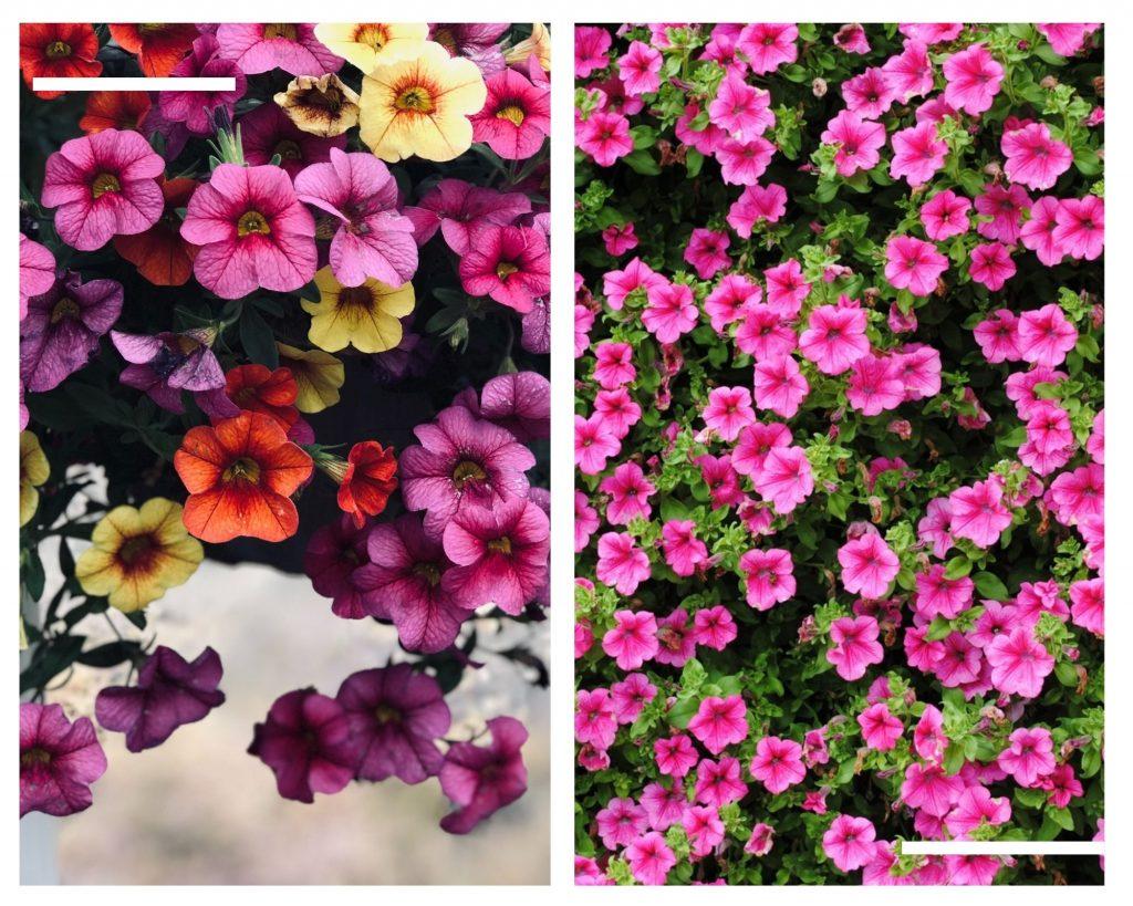 Petunya çiçeği anlamı nedir? pembe petunya çiçeği, sarı petunya