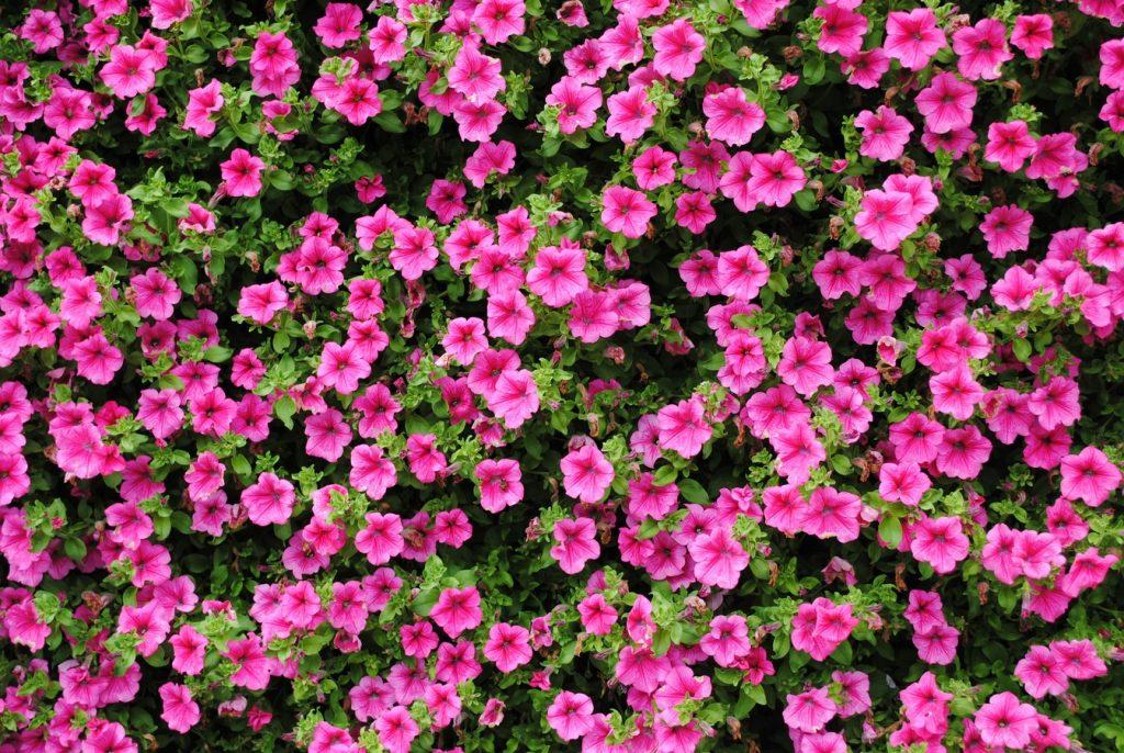 Pembe Petunya çiçeği