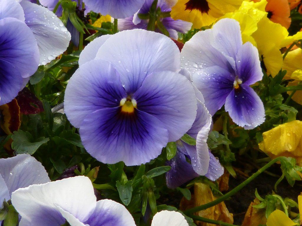 Mavi Petunya çiçeği