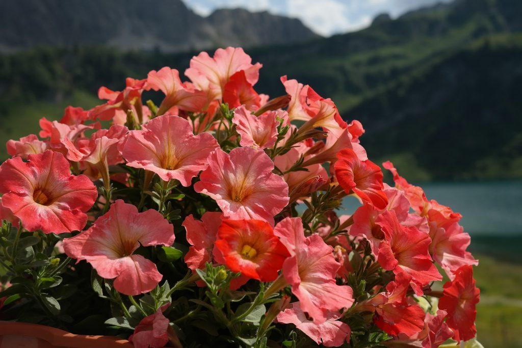 Kırmızı Petunya çiçeği