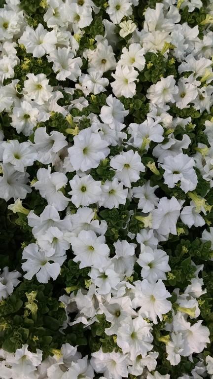Beyaz Petunya çiçeği