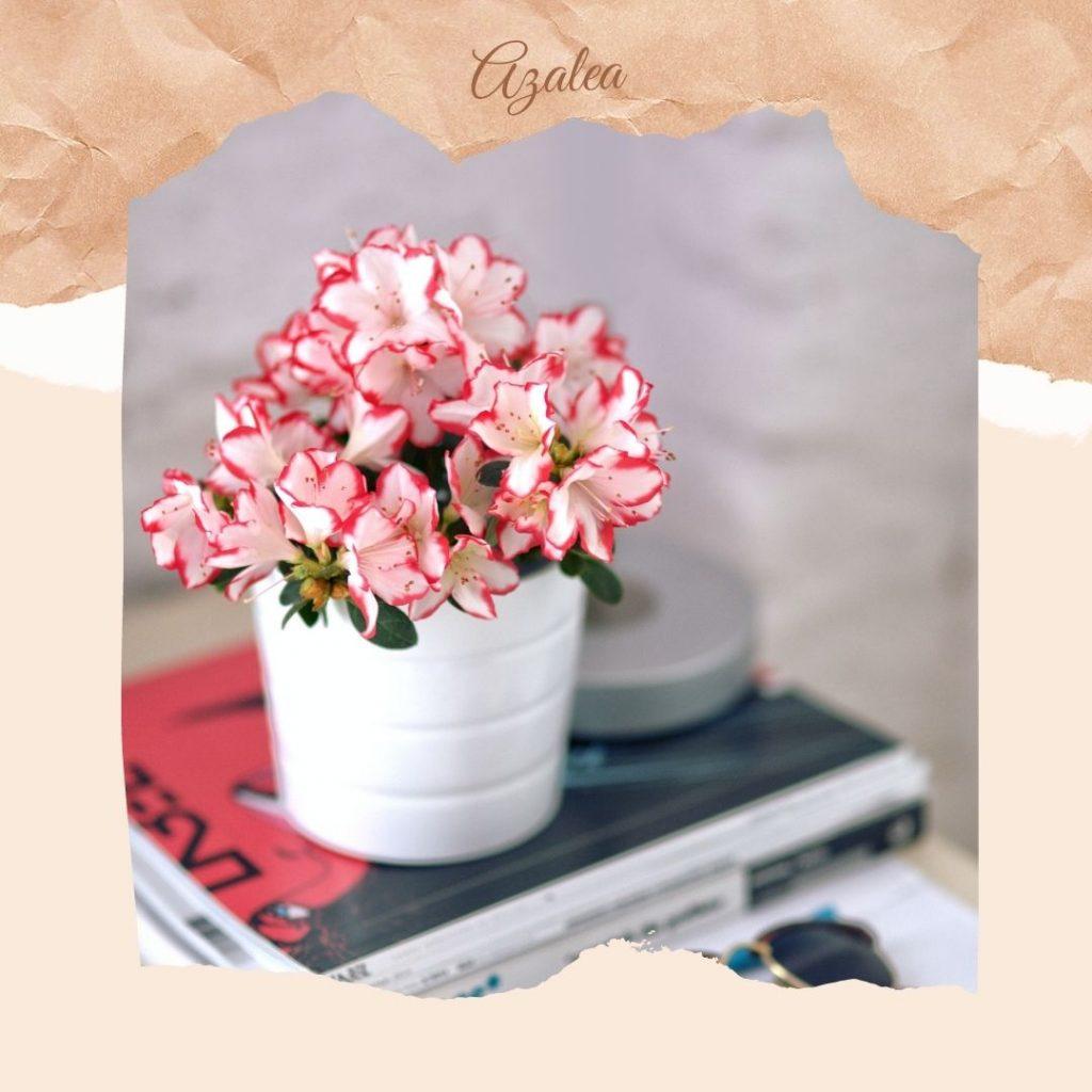 Açelya çiçeği anlamı, saksıda açelya, açelya çiçek, azalea, pembe açelya